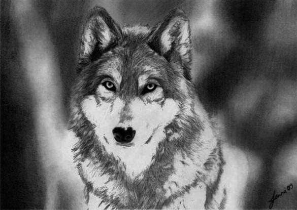 draw wolf line drawing of a wolf at getdrawings free download draw wolf
