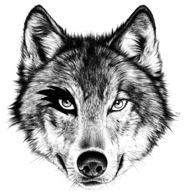 draw wolf white charcoal drawing black paper wolf pencils sketches wolf draw