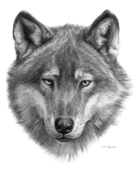 draw wolf wolf drawing search results calendar 2015 wolf draw