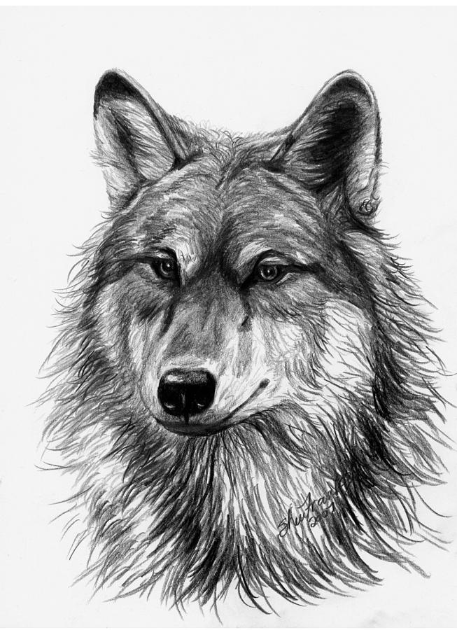 draw wolf wolf drawings page 10 of 27 fine art america wolf draw