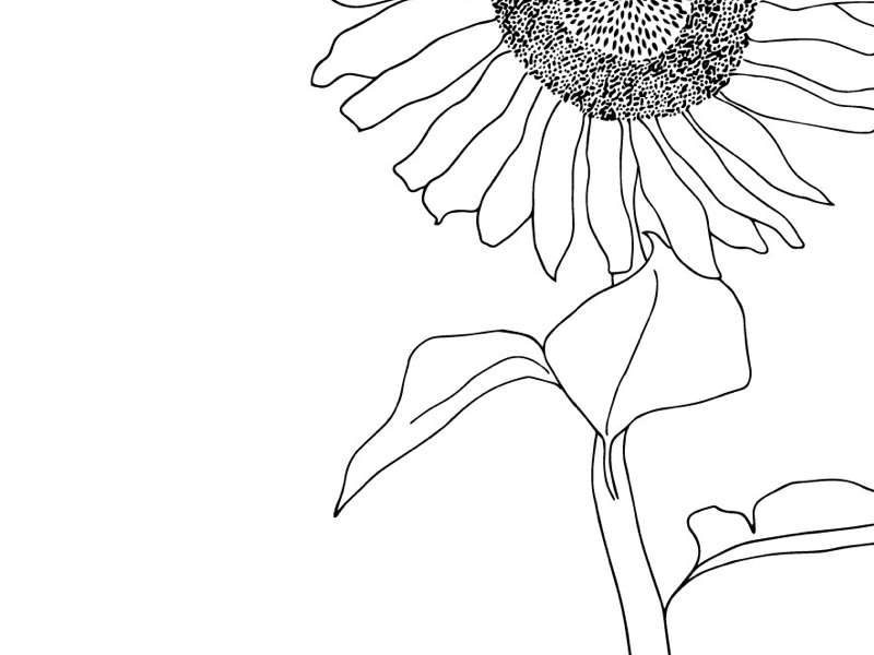 drawing of a sunflower drawing of a sunflower sunflower of a drawing