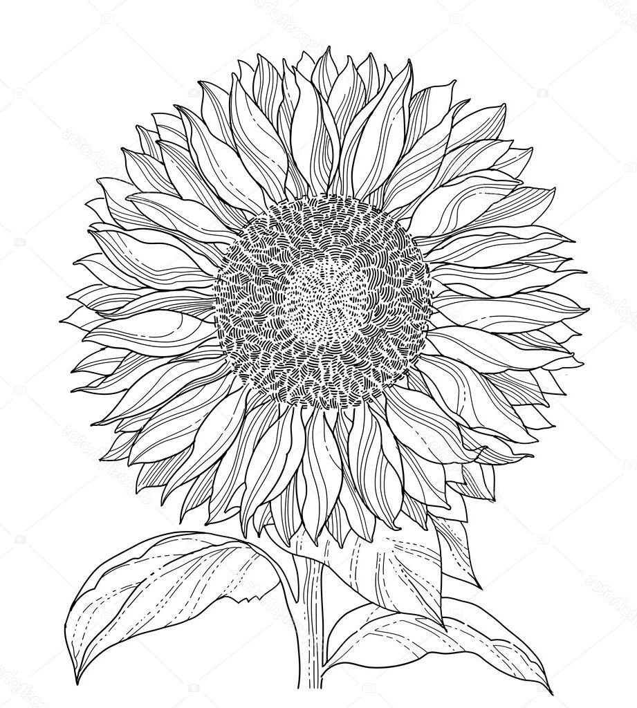 drawing of a sunflower sunflower black and white drawing at paintingvalleycom a drawing sunflower of