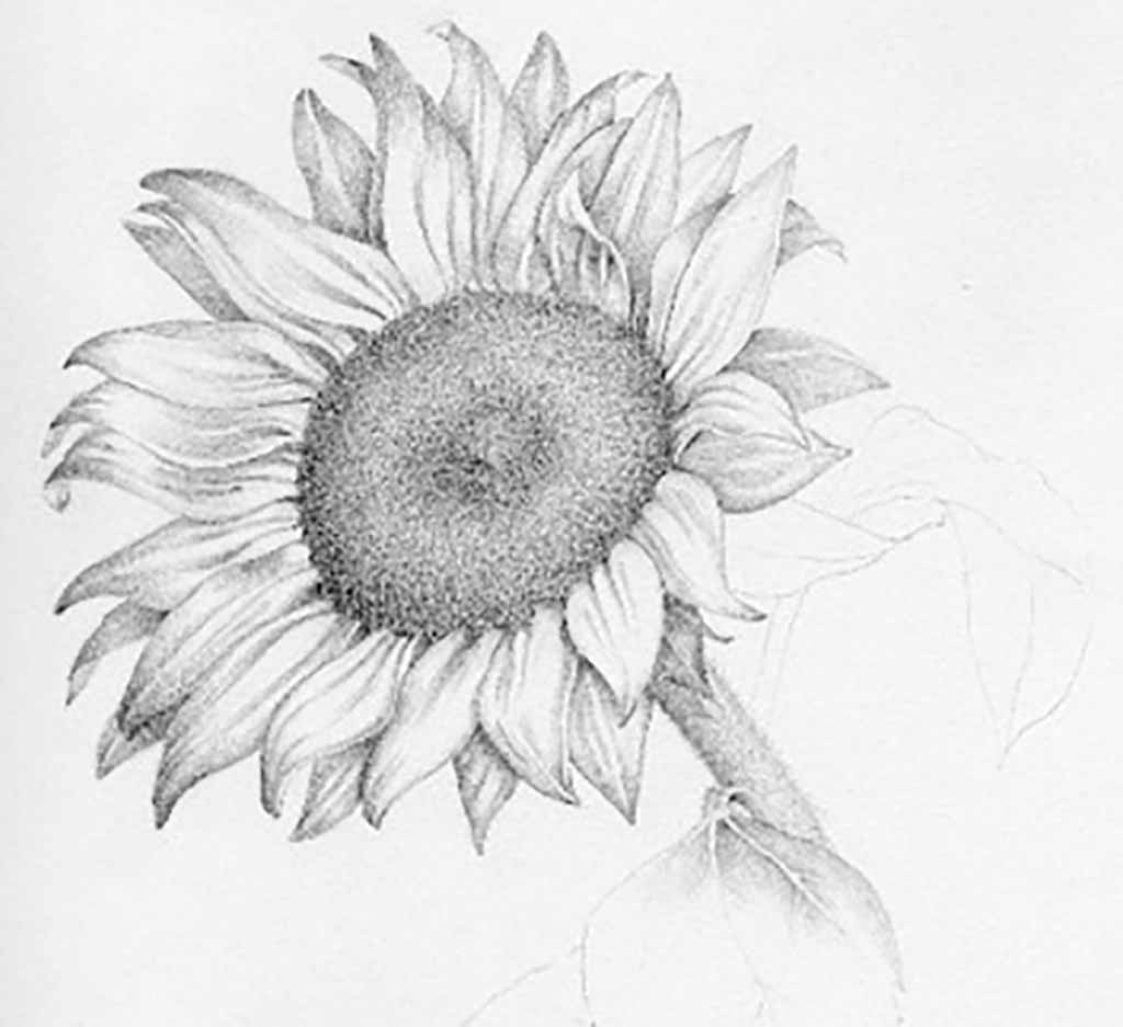 drawing of a sunflower sunflower drawing template at getdrawings free download drawing a sunflower of