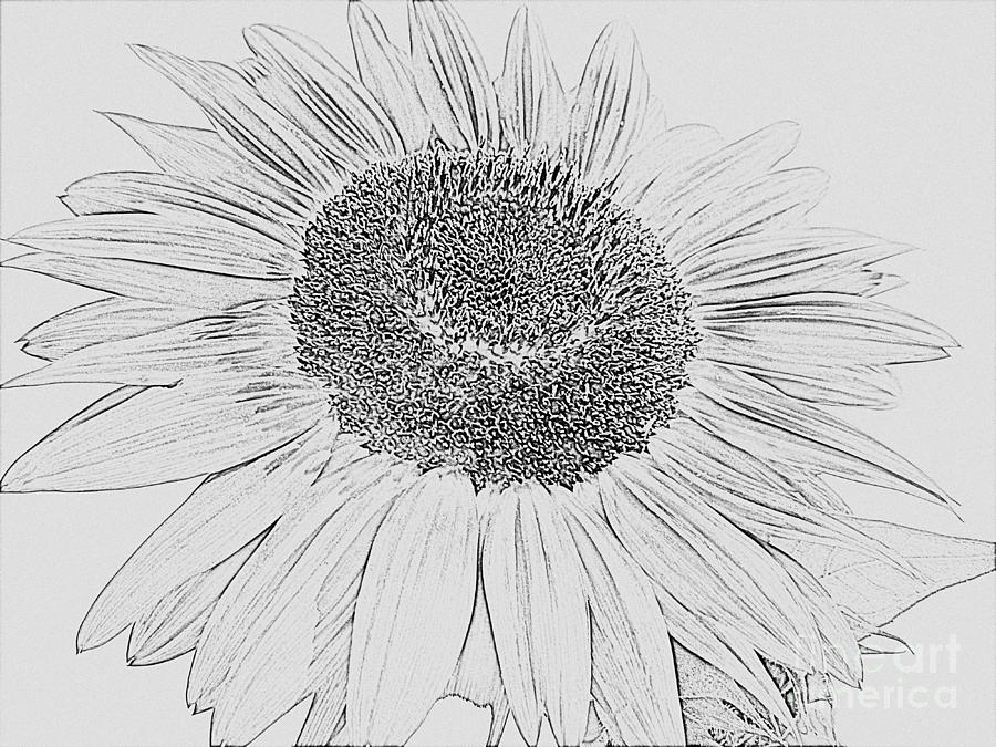 drawing of a sunflower sunflower outline drawing at paintingvalleycom explore sunflower of drawing a
