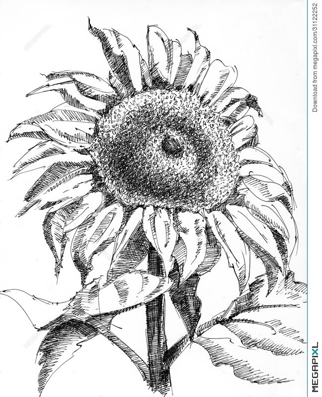 drawing of a sunflower sunflower paintings search result at paintingvalleycom a sunflower of drawing