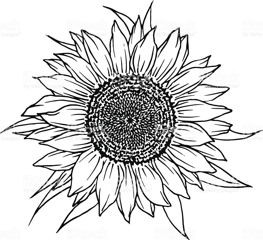 drawing of a sunflower sunflower pencil drawing at getdrawings free download of sunflower a drawing