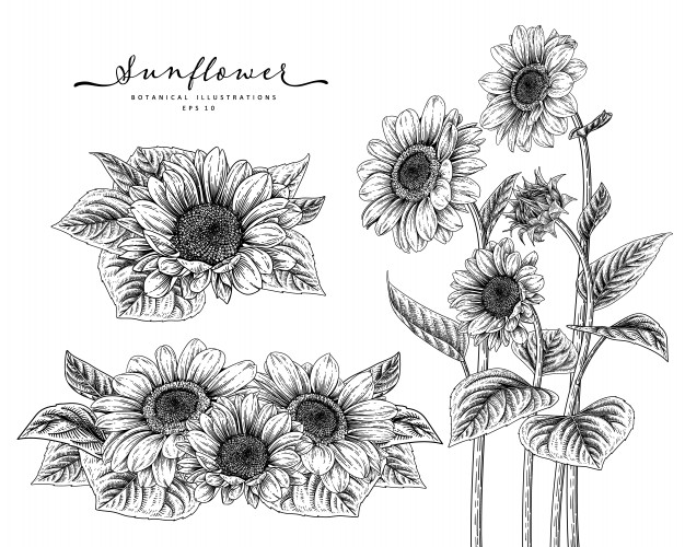 drawing of a sunflower sunflowers drawing at getdrawings free download a of sunflower drawing