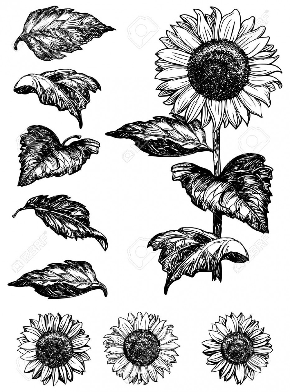 drawing of a sunflower sunflowers drawing by sarah parks a drawing of sunflower