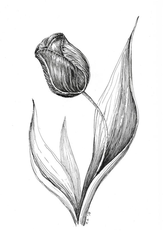 drawings of tulips how to draw a tulip drawingforallnet of drawings tulips