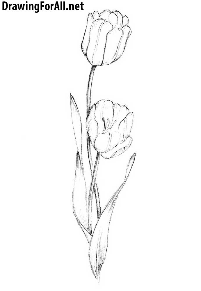 drawings of tulips tulip line drawing clipart best drawings of tulips