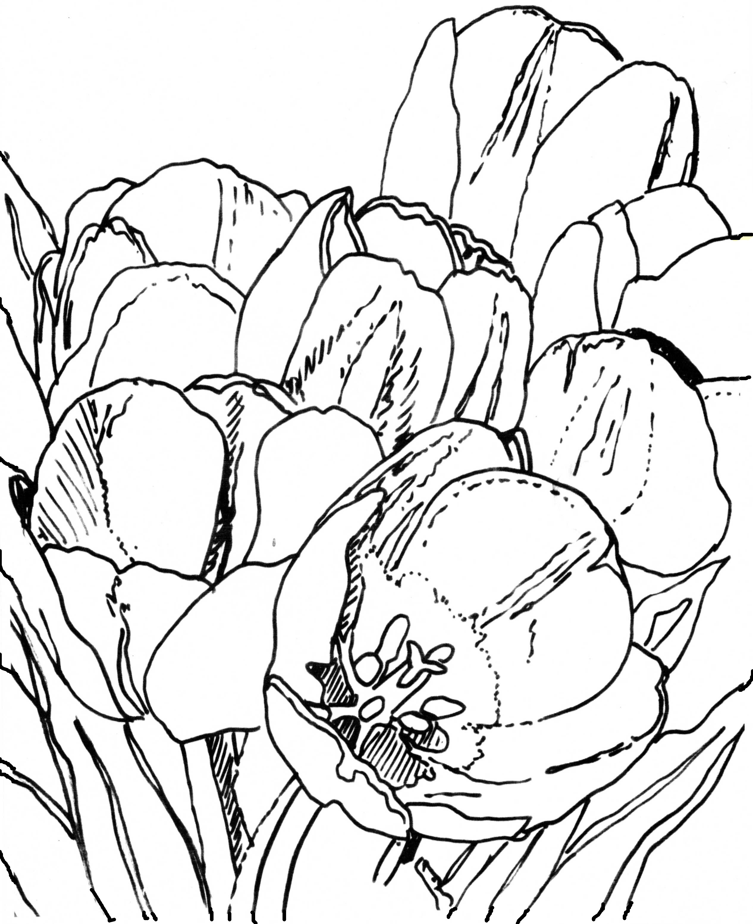 drawings of tulips tulip line drawing clipart best tulips of drawings