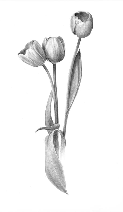 drawings of tulips tulips drawing outlines clipart best drawings tulips of