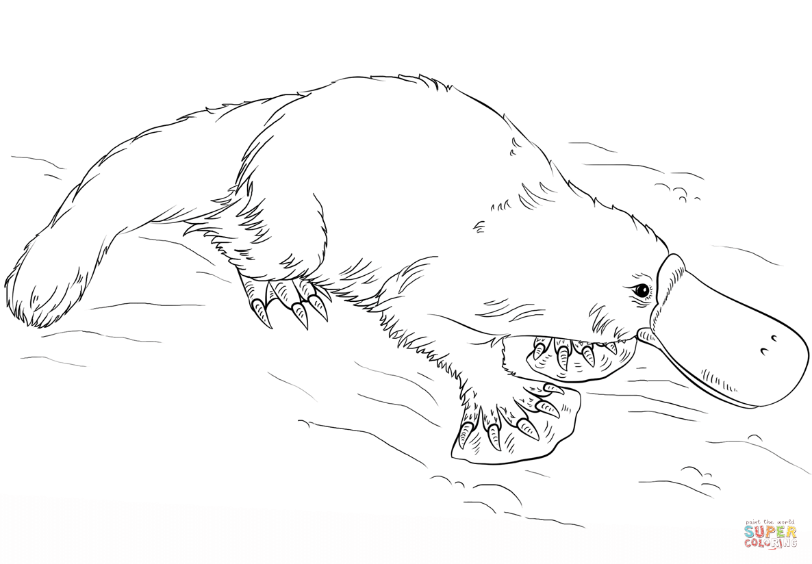 duck billed platypus coloring page clipart panda free clipart images page duck coloring billed platypus