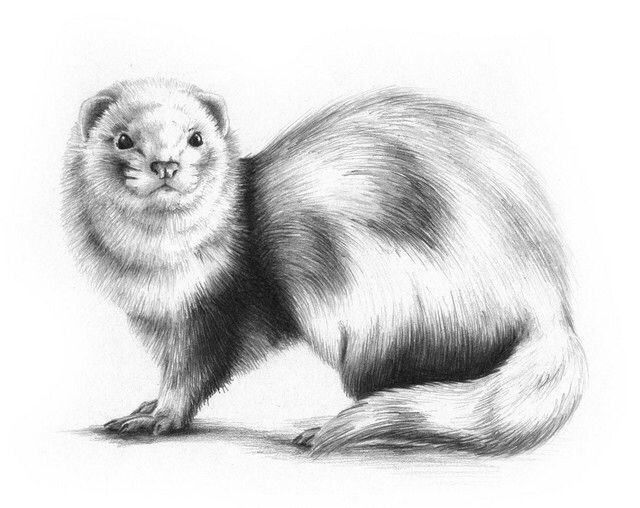 ferret drawings ferret furet in french with images animal art ferret ferret drawings