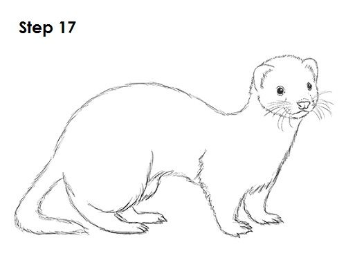 ferret drawings how to draw a ferret drawings ferret