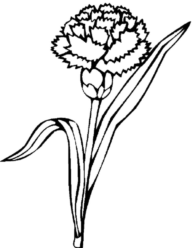 food coloring flower experiment carnation flower drawing free download on clipartmag food coloring flower experiment