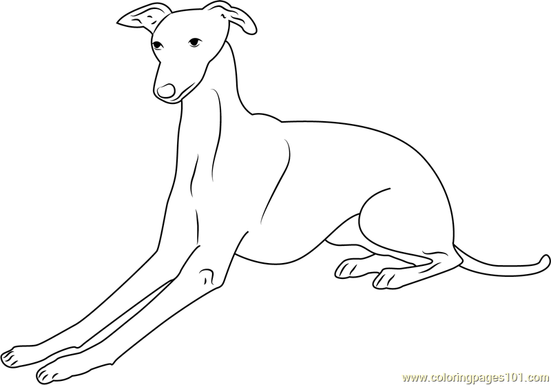 greyhound dog coloring pages greyhound worksheet educationcom greyhound dog pages coloring