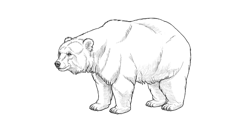 grizzly bear drawing step by step grizzly bear drawing step by step at getdrawings free by bear step drawing step grizzly