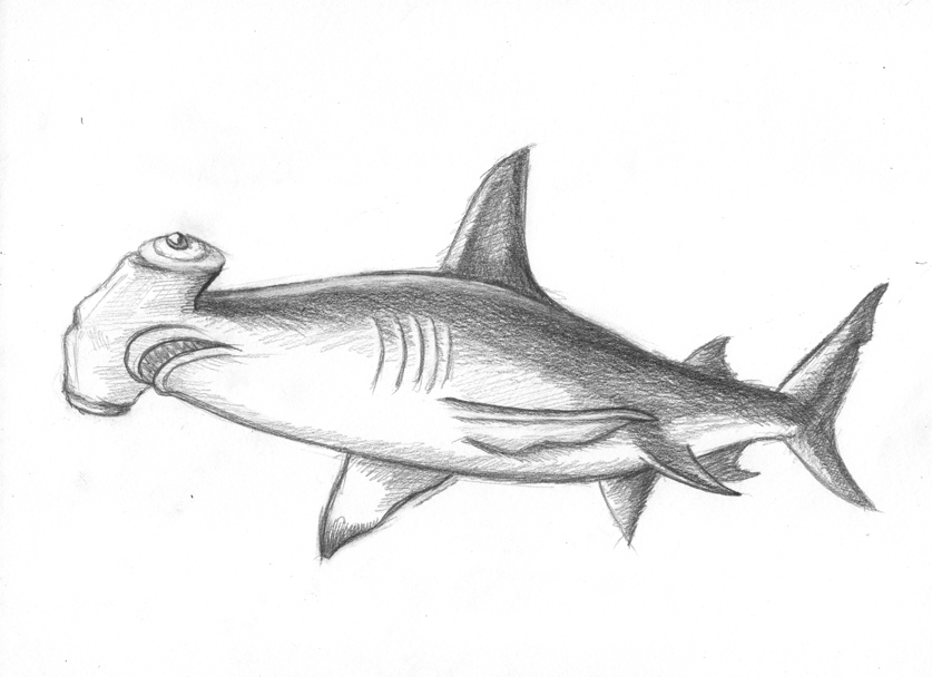 hammer head shark drawing 5 easy and realistic shark drawings how to draw a head drawing hammer shark
