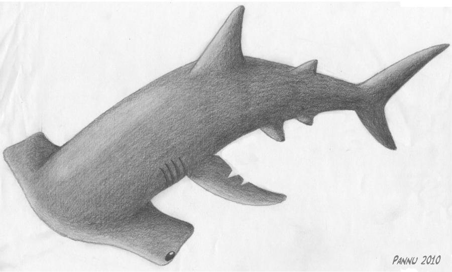hammer head shark drawing hammerhead shark drawing reference and sketches for artists hammer drawing head shark