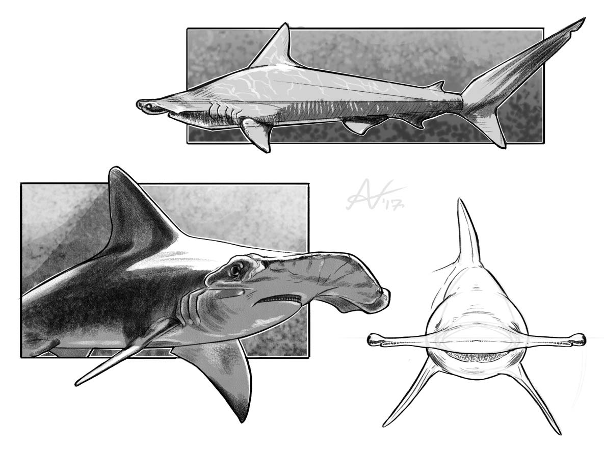 hammer head shark drawing how to draw a hammerhead shark drawingforallnet head shark drawing hammer