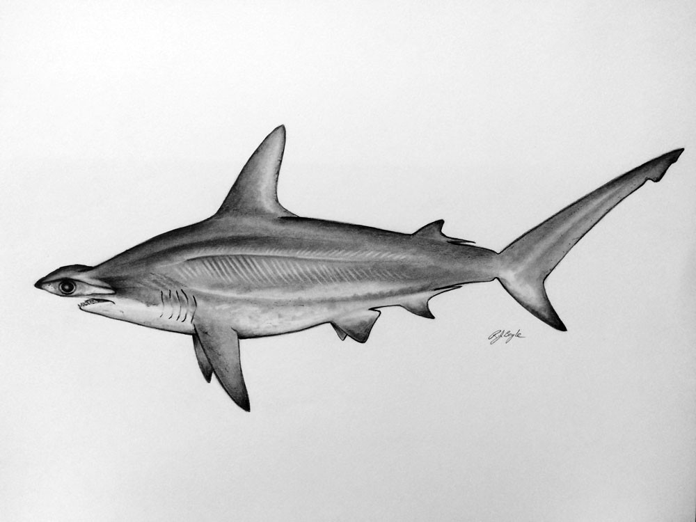 hammer head shark drawing how to draw a hammerhead shark step by step hammer head drawing shark
