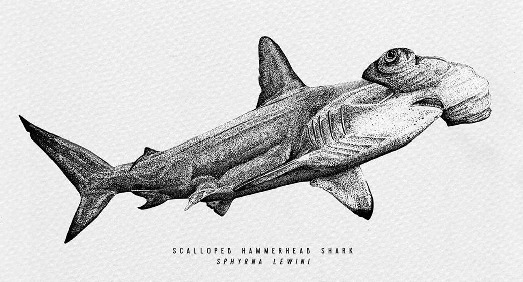hammer head shark drawing how to draw a hammerhead shark the drawing journey drawing head shark hammer