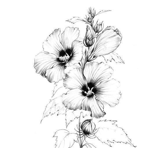 hibiscus drawing 176 best images about flowers  hibiscus on pinterest hibiscus drawing
