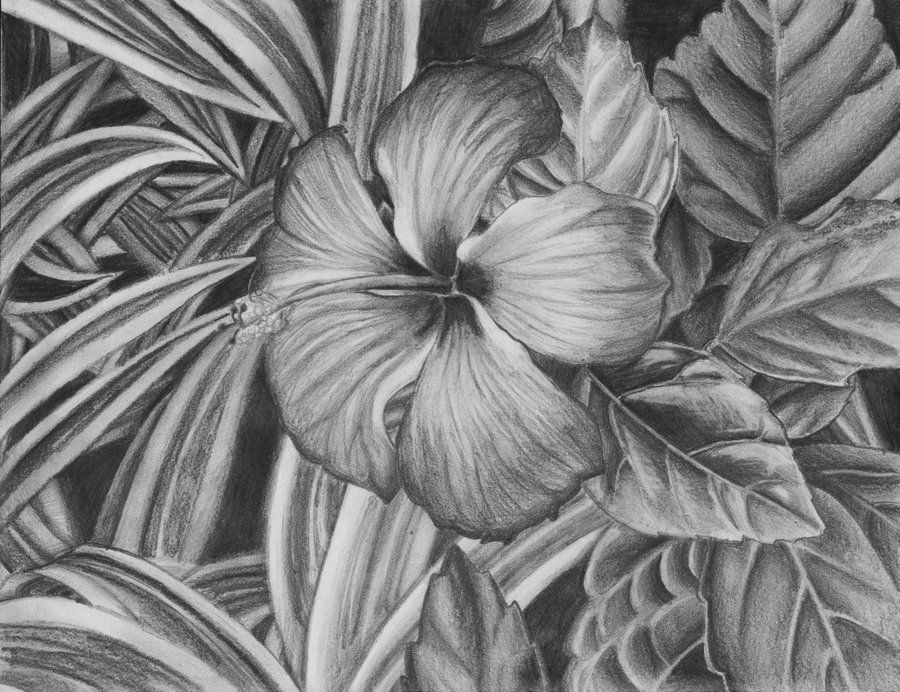 hibiscus drawing hibiscus botanical illustration archival by drawing hibiscus