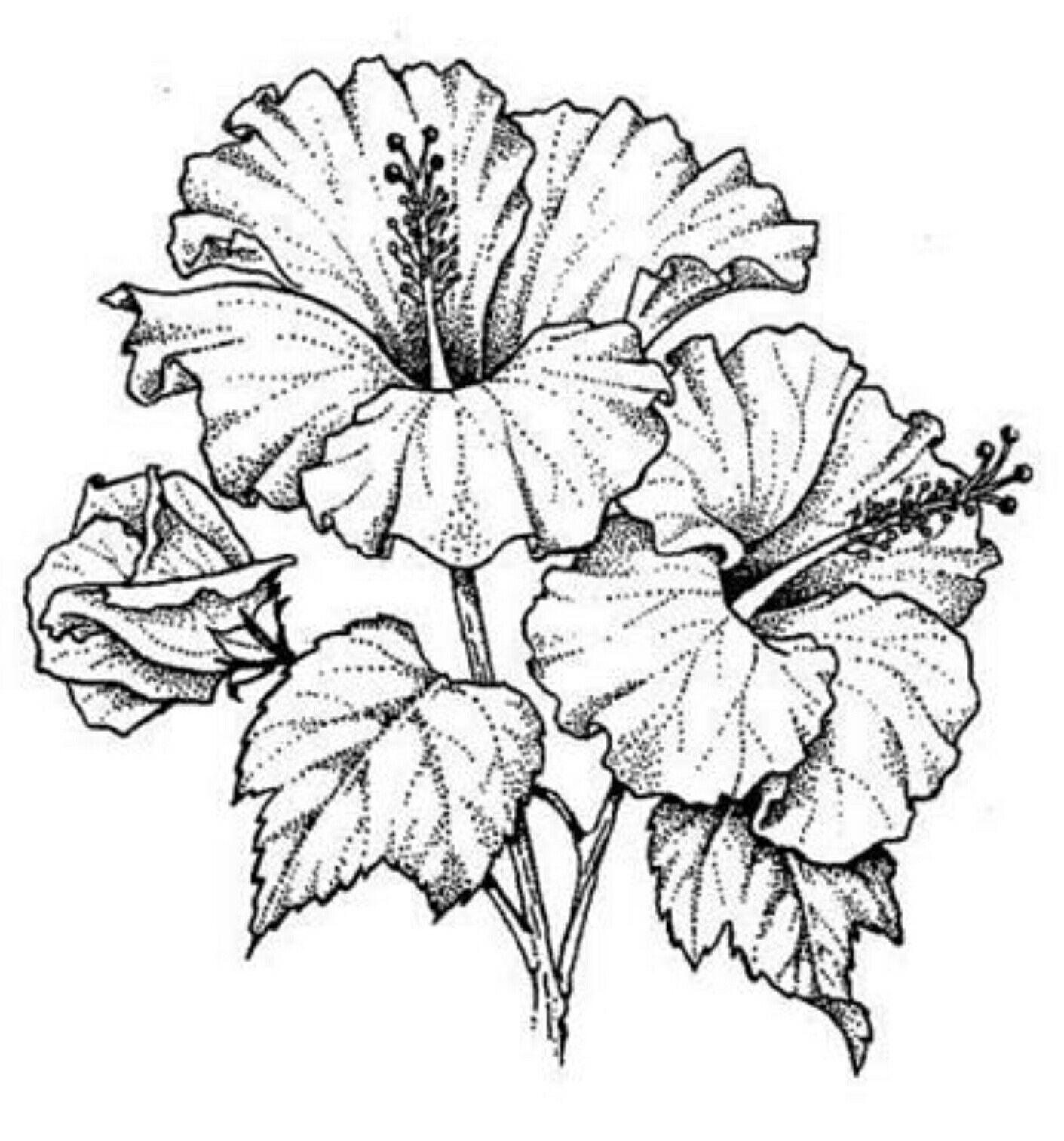 hibiscus drawing hibiscus drawing by christopher lem hibiscus drawing