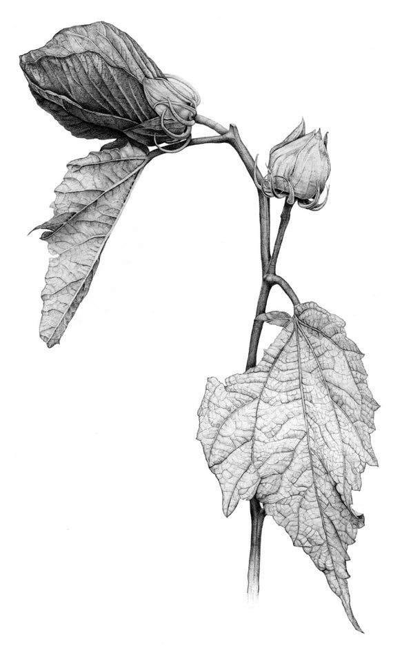 hibiscus drawing hibiscus drawing by diane cardaci the sketch hunter drawing hibiscus