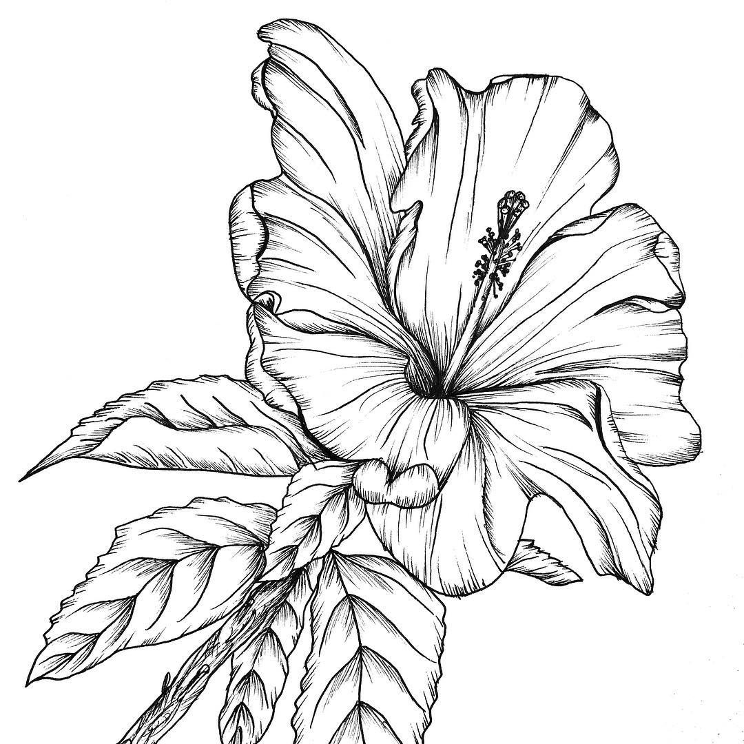 hibiscus drawing hibiscus sketch line drawing coloring page clipart large drawing hibiscus
