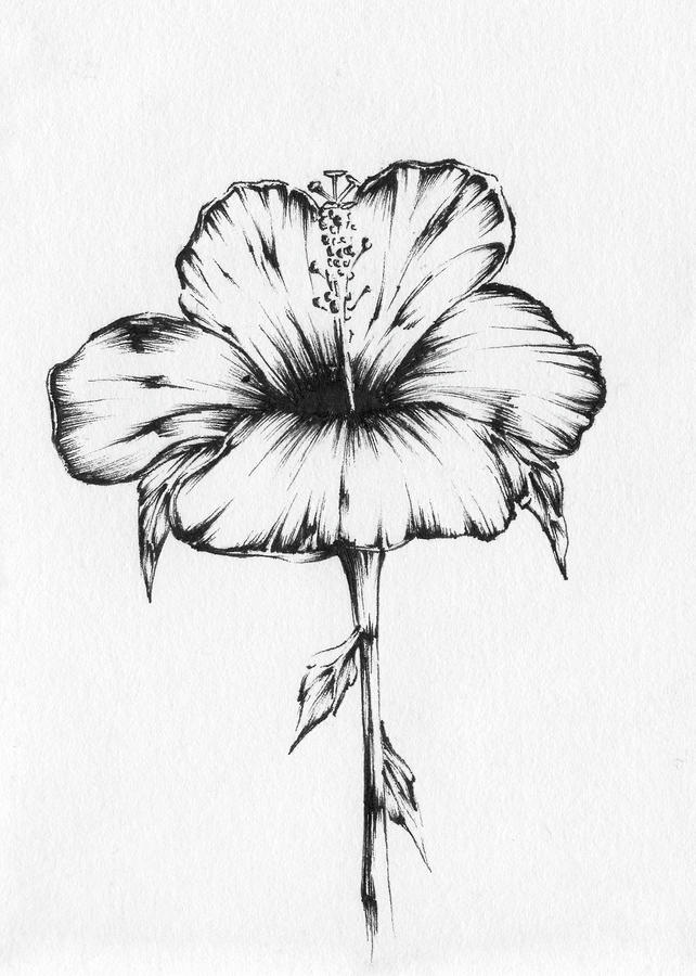 hibiscus drawing my finished hibiscus for florafaunachallenge and the drawing hibiscus