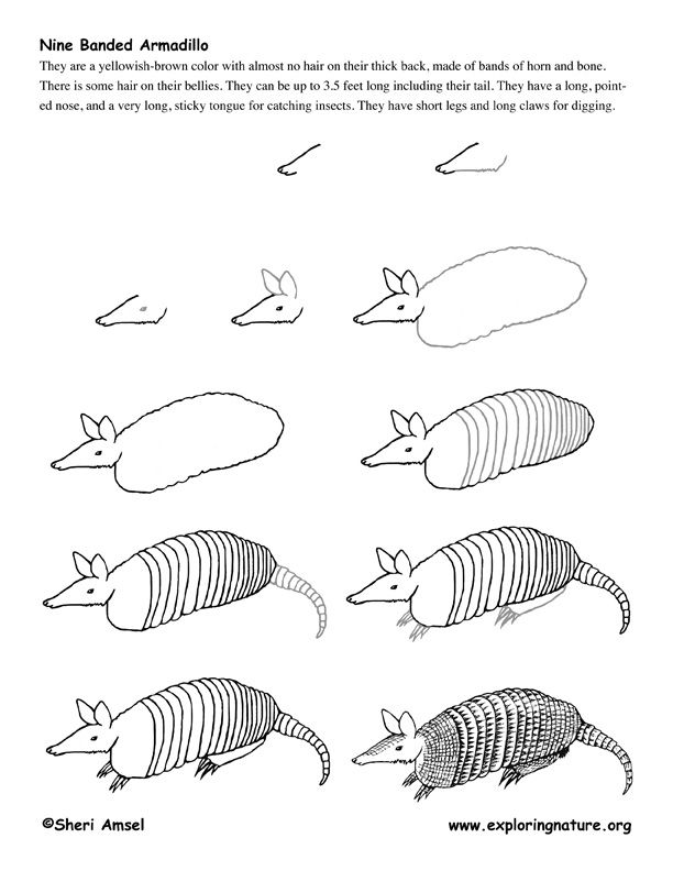 How to draw a armadillo step by step