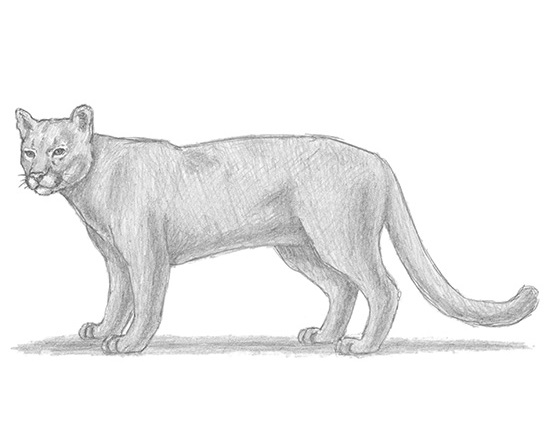 how to draw a baby cougar cougar cub drawing by tricia griffith draw baby cougar a how to