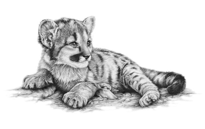 how to draw a baby cougar cougar lying down drawing by luann deyoung how a draw cougar to baby