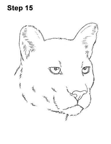 how to draw a baby cougar cougar portrait coloring page free printable coloring pages draw to cougar how a baby