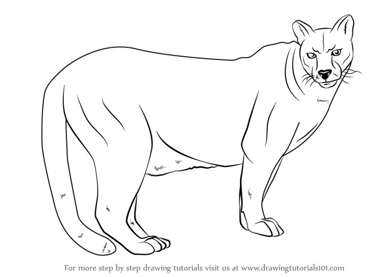 how to draw a baby cougar crouching cougar coloring page free printable coloring pages draw to a how baby cougar
