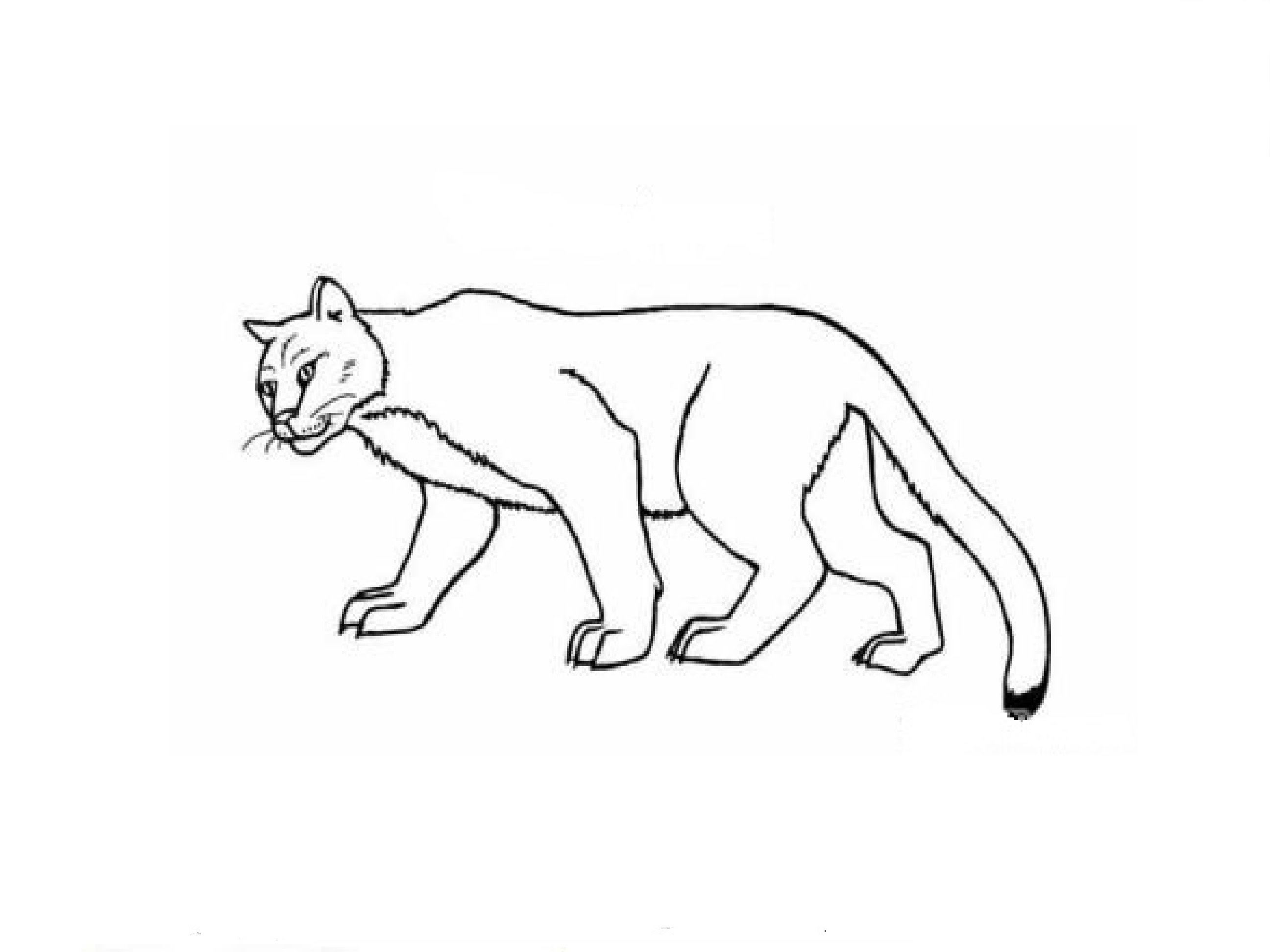 how to draw a baby cougar drawn cougar simple pencil and in color drawn cougar simple a cougar how baby draw to