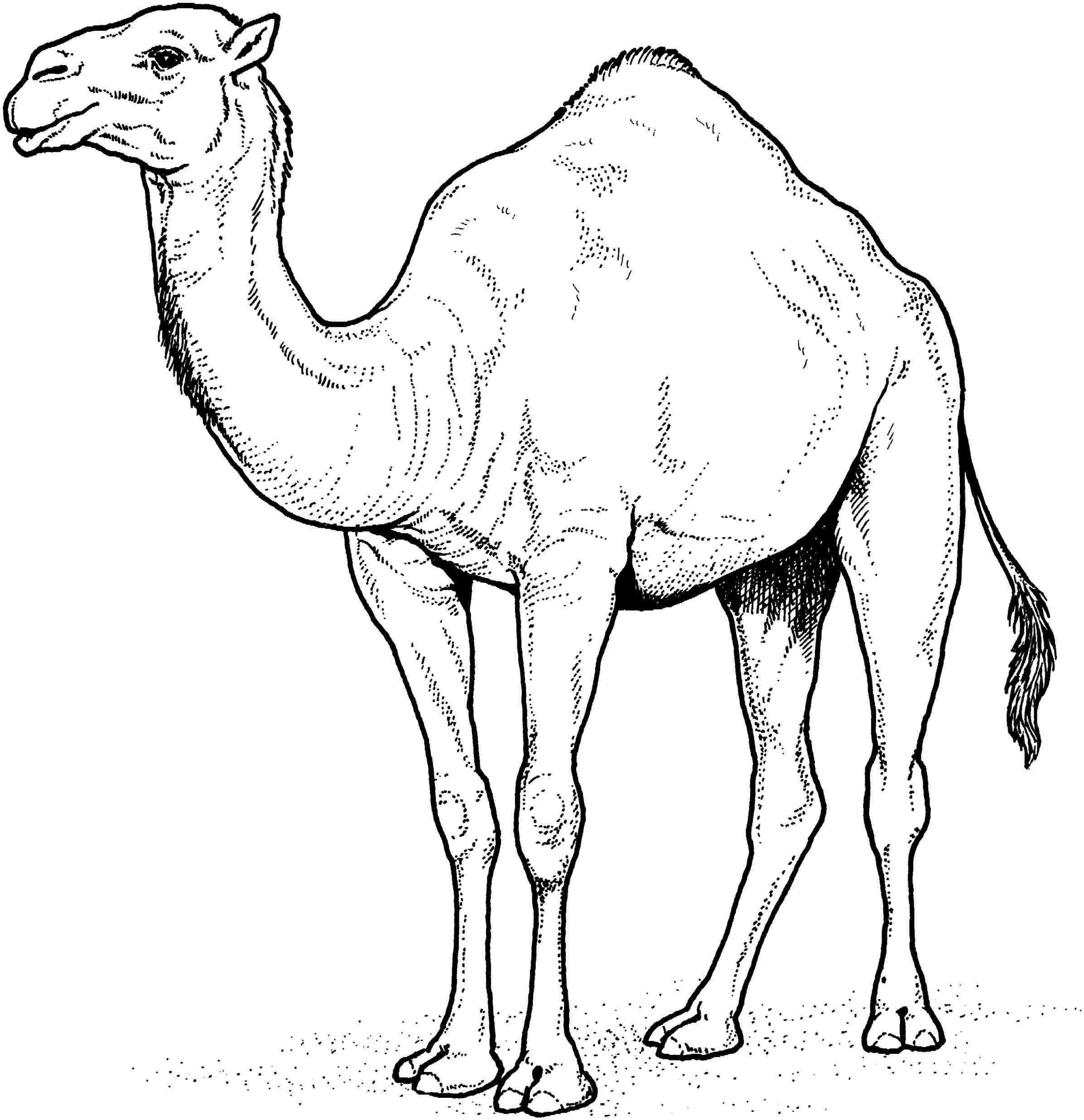 how to draw a camel cartoon camel drawing at getdrawings free download draw camel how to a