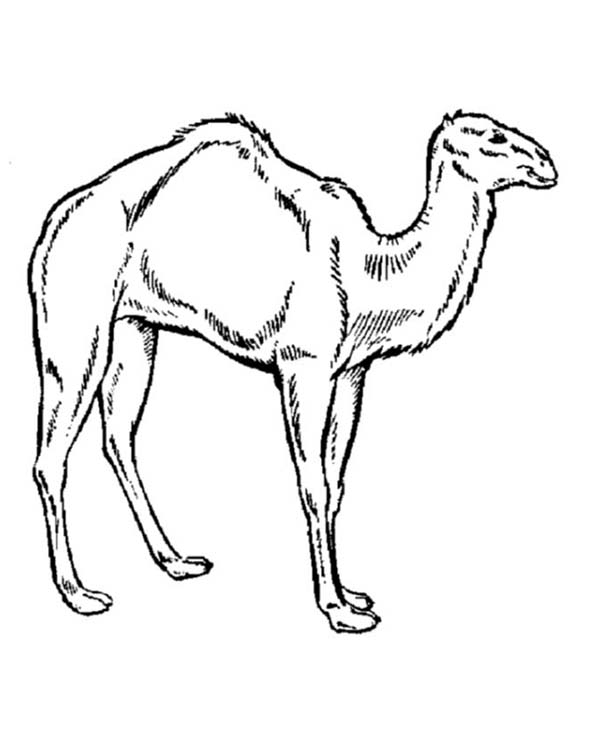 how to draw a camel cute camel drawing at getdrawings free download camel a draw how to