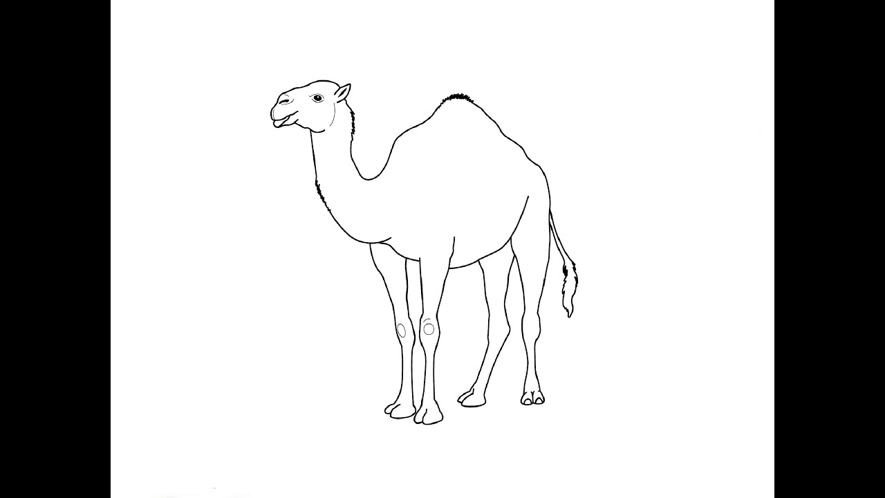 how to draw a camel drawing camel a draw camel to how