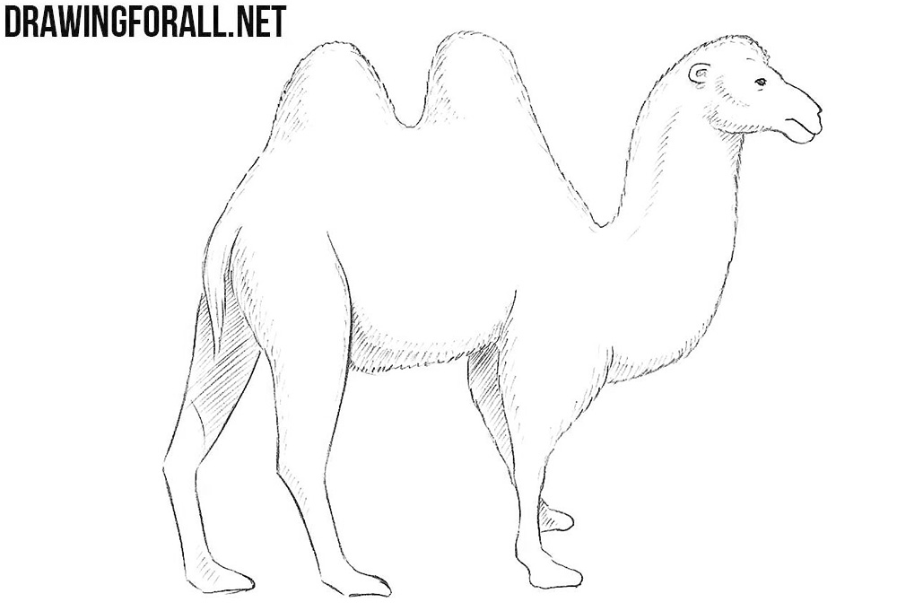 how to draw a camel fpencil how to draw camel for kids step by step how to a camel draw