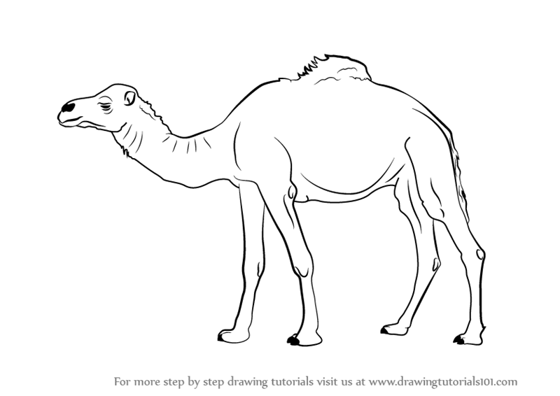 how to draw a camel how to draw camels drawing tutorials drawing how to a draw how to camel
