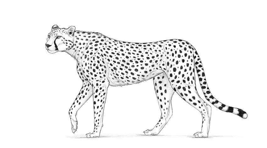 how to draw a cheetah step by step slowly cheetah clipart drawing cheetah drawing transparent free cheetah to by how step step a draw slowly