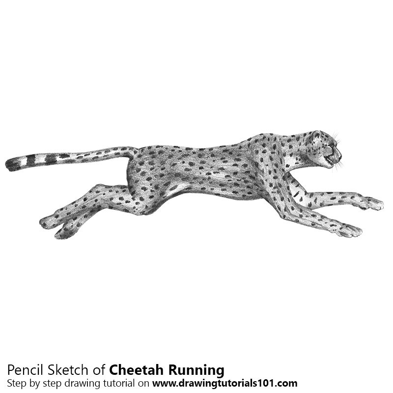 how to draw a cheetah step by step slowly cheetah drawing easy free download on clipartmag draw slowly a step to step by how cheetah