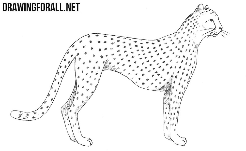 how to draw a cheetah step by step slowly cheetah drawing step by step at getdrawings free download to draw by a slowly how step step cheetah