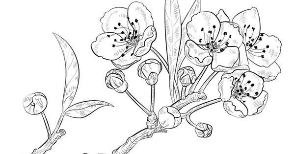 how to draw a cherry blossom apple blossom drawing at getdrawings free download a to blossom cherry draw how