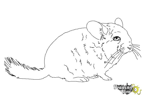 how to draw a chinchilla step by step chinchilla drawing at getdrawings free download step by step how draw a chinchilla to