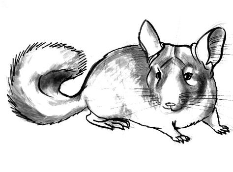 how to draw a chinchilla step by step chinchilla drawing at getdrawings free download step chinchilla draw step by how a to